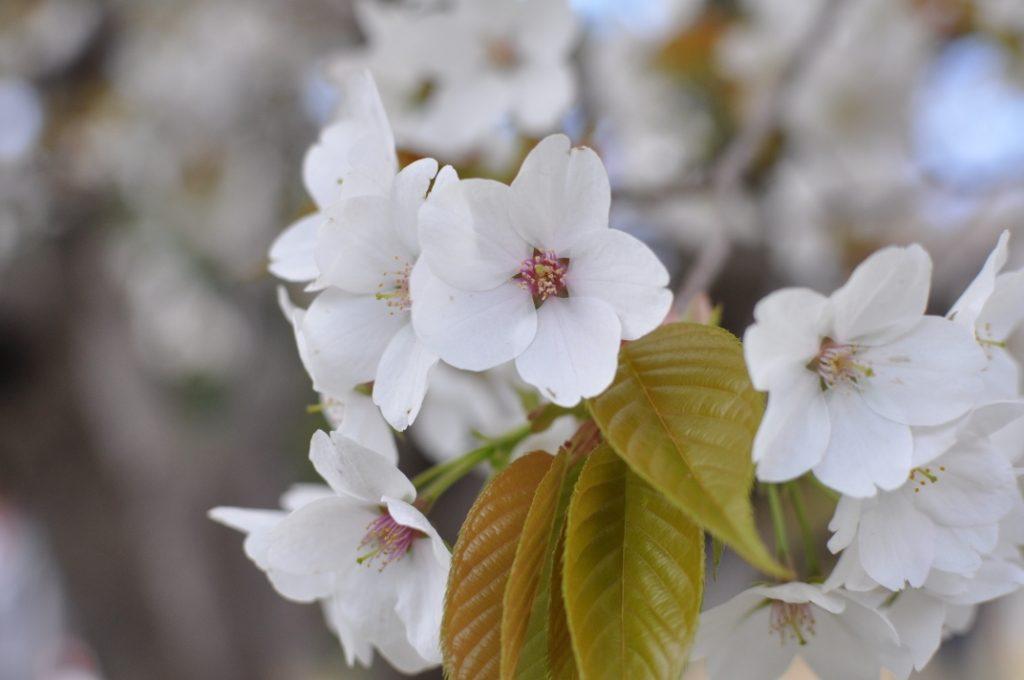 小仏城山の桜満開
