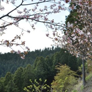 小仏峠の桜
