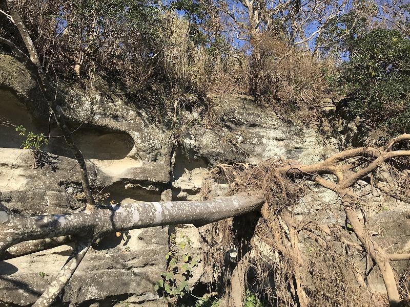 お猿畠の大切岸の倒木