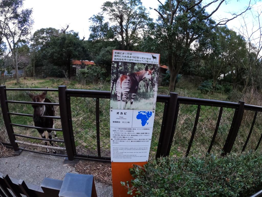 金沢自然動物公園オカピ
